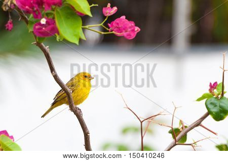 Yellow bird on tree branch with thorns and pink flowers. Bird kwon as canario da terra verdadeiro in Brazil. poster