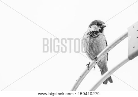 Bird on parabolic antenna. Black and white photo of a urban bird watching around. Blank space on the left to put text next to.