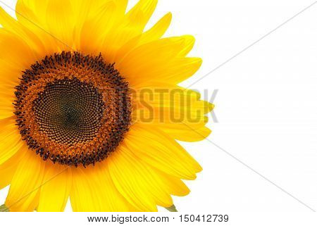 Flower of sunflower isolated on white background. Seeds and oil. Flat lay top view