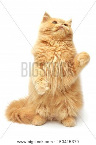 Beautiful red-haired kitten playing paws. Persian cat isolated on white background