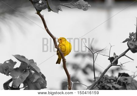 Yellow bird on tree branch with thorns and flowers. Bird kwon as canario da terra verdadeiro in Brazil. Black and white background composition.