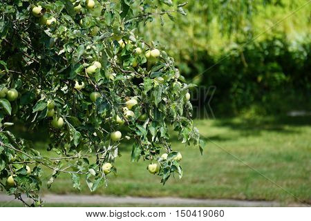 Apples ripen in an apple tree (Malus pumila) in Harbor Springs, Michigan during August.