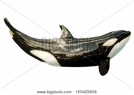A killer whale, Orcinus Orca, isolated on white background.