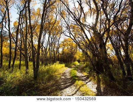 Yellow leaves falling off poplar trees with curving nature path winding through the forest under afternoon sunlight
