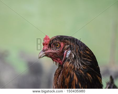Ameraucana Chicken. Also known as the Easter Egg Chicken due to it's colorful eggs. It is one of the most popular domesticated breeds in North America.
