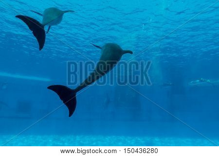 Dolphin Show Tail In Aquarium Underwater