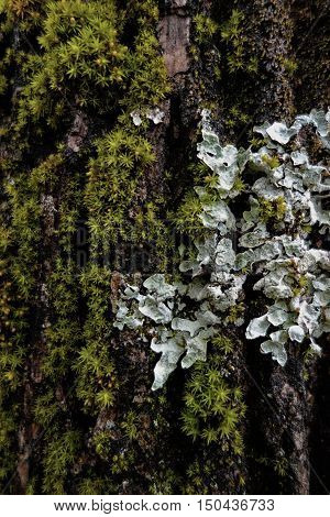 Hammered shield lichen (Parmelia sulcata) with blue-grey foliose thallus growing with green moss on textured tree trunk bark.
