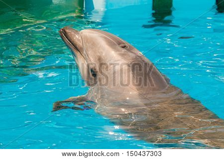 A Group Of Bottlenose Dolphins Performing A Swimming In The Pool.
