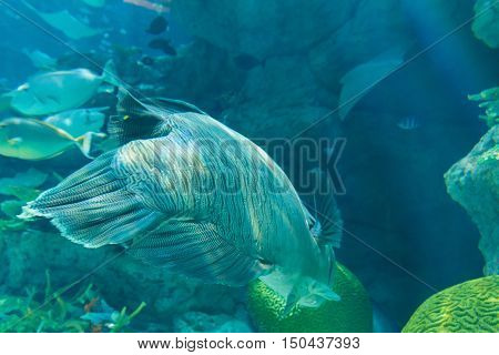 Humphead Maori Wrasse Swimming Near The Reef Underwater.