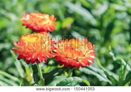 Three Straw flower or Everlasting flowers in the green garden. Picture of three orange color flowers.