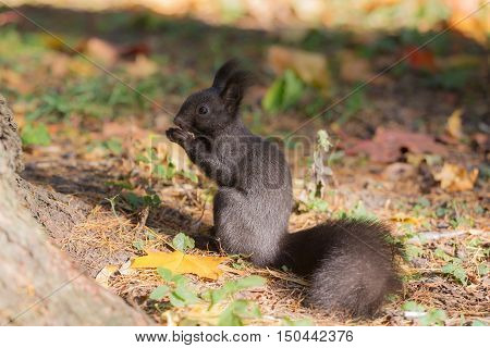 black squirrel eating a nut in autumn