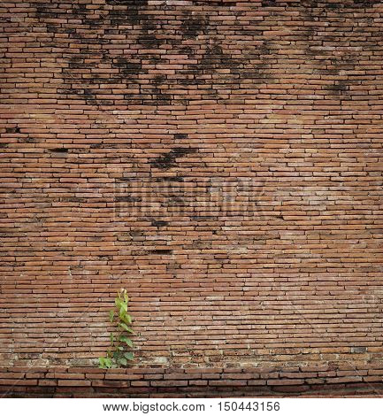 Old and ruin brick wall background with bodhi tree (Ficus religiosa) vintage effect