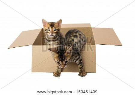 tabby kitten opens a box,on a white background