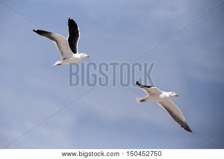 Flying European Herring Gulls, Larus Argentatus