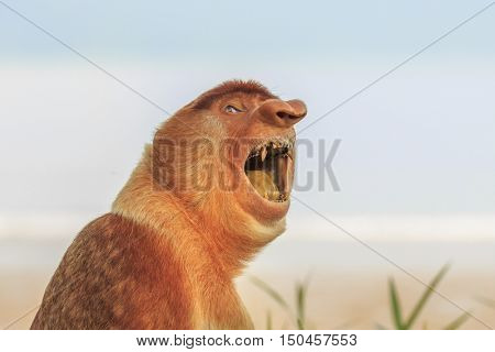 Proboscis Monkey shows his teeth