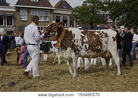WORKUM, THE NETHERLANDS - SEPTEMBER 28, 2016: Overall winning dairy holstein cow of annual Kokedei, or dairy cattle show, in centre of city of Workum, the Netherlands.