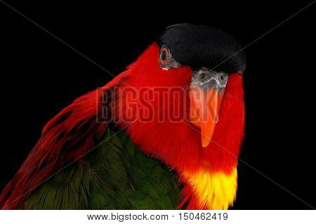 Close-up Funny portrait of Yellow-bibbed Lory, lorius chlorocercus, isolated on black Background. red parrot