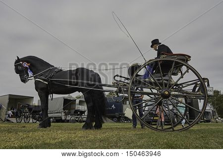 WORKUM, THE NETHERLANDS - SEPTEMBER 28, 2016: Gig driver, dressed in period Frisian costume, with award winning Frisian purebred carriage stallion Eise 489, after celebration.
