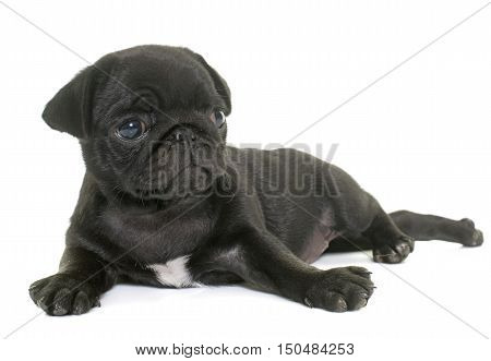 puppy black pug in front of white background
