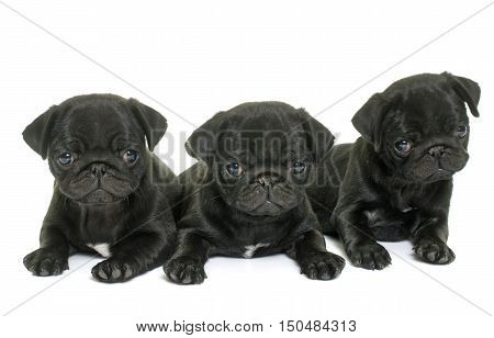 puppies black pug in front of white background