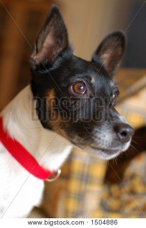 Jack Russel Portrait
