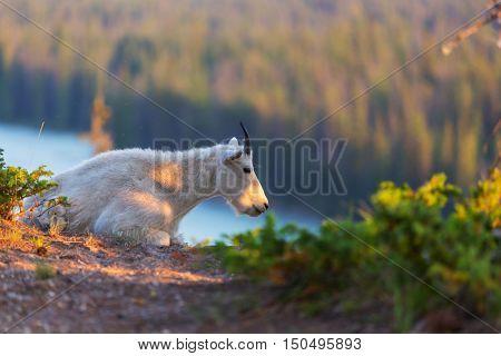 Wild Mountain Goat in Cascade mountains