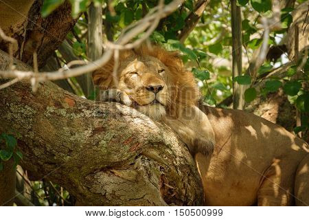 Detailed view of male Lion with mane taking a nap on a tree branch