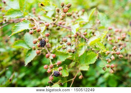 Ripening of the blackberries on the blackberry bush in a green forest.