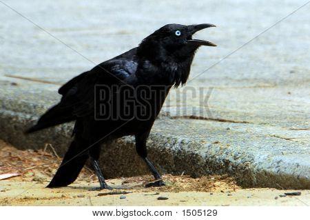 Crow Blue Eyes