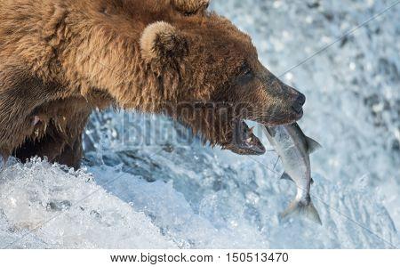 Alaskan Brown Bear Catching Salmon