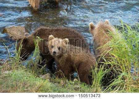 Cute Brown Bear Cubs
