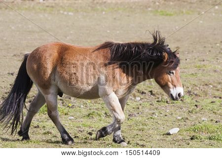 the swedish pony breed (gotlandsruss) out for a walk