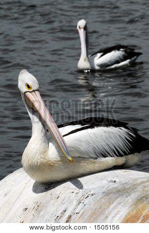 2 Australian Pelicans