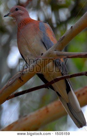Pigeon Dove In Tree
