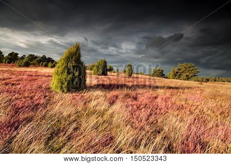 shadows juniper trees on hill with heather Germany