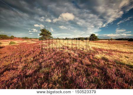 Heathland and beautiful sky, Luneburger heide, Germany
