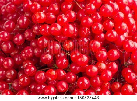 Red bright and juicy berries of guelder rose background