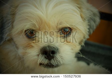 Portrait of a white adlorable dog full face of shihtzu