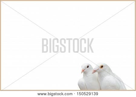 Card for labels with white doves. Pair of white pigeons isolated on white. Bird is a symbol of love and fidelity. Template for the design.