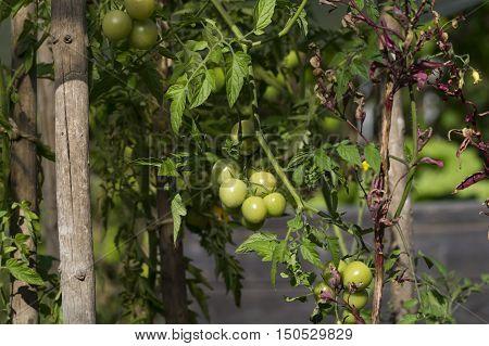 Grüne Tomaten in einem Garten im Herbst