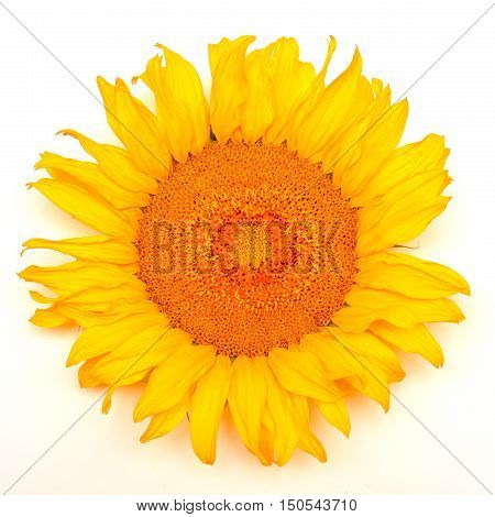 One sunflower isolated on white background. Flat lay, top view