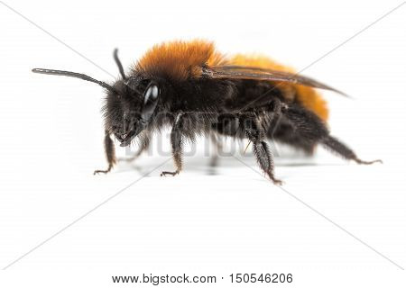 Female Andrena fulva Tawny Mining Bee on a white background.
