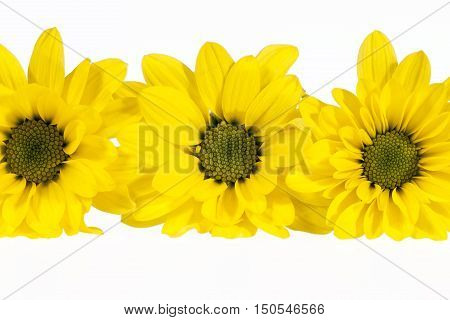 Flowers of yellow marguerite (Leucanthemum vulgare) isolated on white background