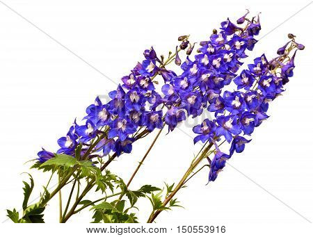 Blue delphinium flower isolated on white background