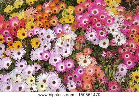 Vibrant flower bed of Livingstone Daisies taken in Nova Scotia