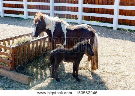 Mother and foal dartmoor ponies (Equus ferus caballus) graze on the farm.