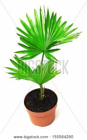 Palm tree in a pot isolated on white background