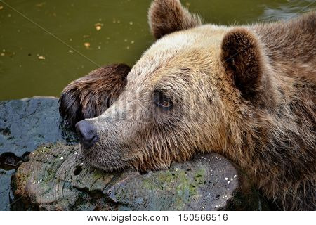 Brown bear swims in the water with bole