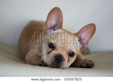 French Bulldog (Canis lupus familiaris) Puppy Portrait