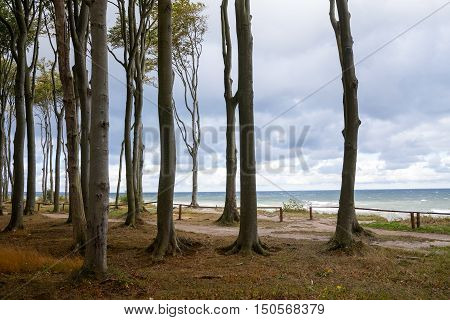 Forest edge at sea with tall gray beech tree trunks in autumn Baltic Sea steep coast in Mecklenburg-Western Pomerania northern Germany
